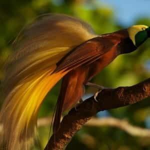Bird of paradise 100 Nama Binatang Dalam Bahasa Inggris A-Z lengkap Dengan Gambar