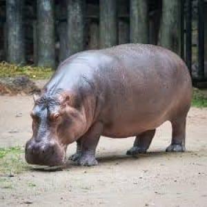 Hippopotamus Kumpulan Nama Binatang Dalam Bahasa Inggris A-Z lengkap Dengan Gambar