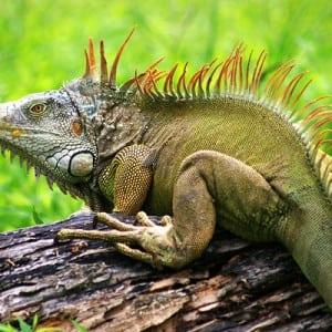 Iguanas Kumpulan Nama Binatang Dalam Bahasa Inggris A-Z lengkap Dengan Gambar
