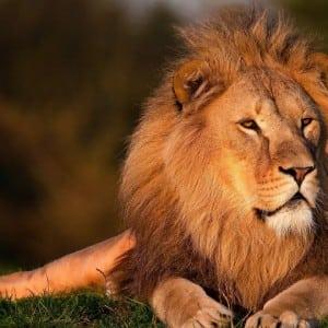 Lion Kumpulan Nama Binatang Dalam Bahasa Inggris A-Z lengkap Dengan Gambar