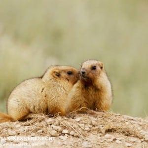 Marmot Kumpulan Nama Binatang Dalam Bahasa Inggris A-Z lengkap Dengan Gambar