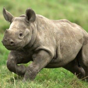 Rhino 100 Nama Binatang Dalam Bahasa Inggris A-Z lengkap Dengan Gambar