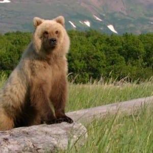 bear-100 Nama Binatang Dalam Bahasa Inggris A-Z lengkap Dengan Gambar