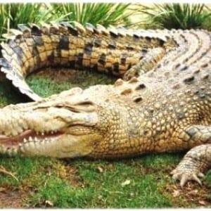 crocodile- 100 Nama Binatang Dalam Bahasa Inggris A-Z lengkap Dengan Gambar