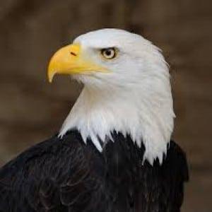 eagle 100 Nama Binatang Dalam Bahasa Inggris A-Z lengkap Dengan Gambar