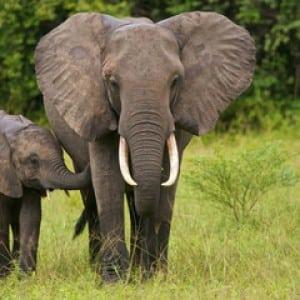 elephants-100 Nama Binatang Dalam Bahasa Inggris A-Z lengkap Dengan Gambar