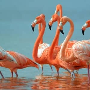 flamingo-100 Nama Binatang Dalam Bahasa Inggris A-Z lengkap Dengan Gambar