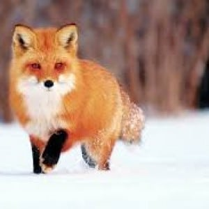 fox Kumpulan Nama Binatang Dalam Bahasa Inggris A-Z lengkap Dengan Gambar