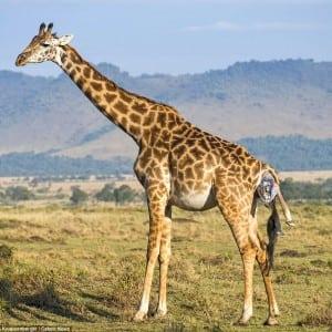 giraffe Kumpulan Nama Binatang Dalam Bahasa Inggris A-Z lengkap Dengan Gambar