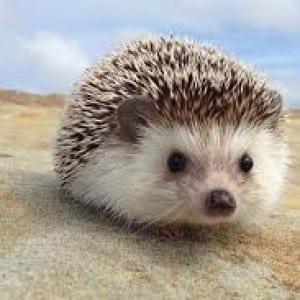 hedgehog Kumpulan Nama Binatang Dalam Bahasa Inggris A-Z lengkap Dengan Gambar