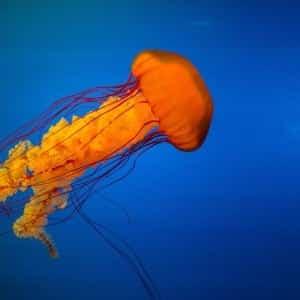 jellyfish Kumpulan Nama Binatang Dalam Bahasa Inggris A-Z lengkap Dengan Gambar