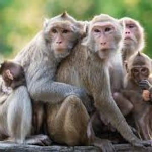 monkey -Kumpulan Nama Binatang Dalam Bahasa Inggris A-Z lengkap Dengan Gambar