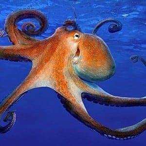 octopus -100 Nama Binatang Dalam Bahasa Inggris A-Z lengkap Dengan Gambar
