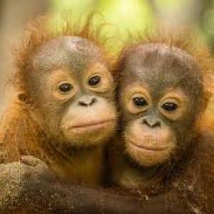 orang utans Kumpulan Nama Binatang Dalam Bahasa Inggris A-Z lengkap Dengan Gambar