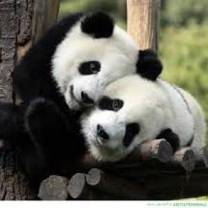 panda Kumpulan Nama Binatang Dalam Bahasa Inggris A-Z lengkap Dengan Gambar