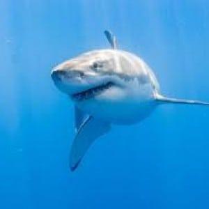 shark Kumpulan Nama Binatang Dalam Bahasa Inggris A-Z lengkap Dengan Gambar