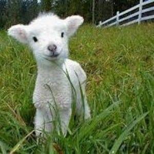 sheep- 100 Nama Binatang Dalam Bahasa Inggris A-Z lengkap Dengan Gambar