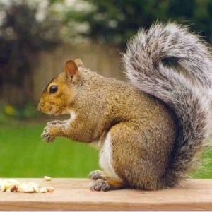 squirrel Kumpulan Nama Binatang Dalam Bahasa Inggris A-Z lengkap Dengan Gambar
