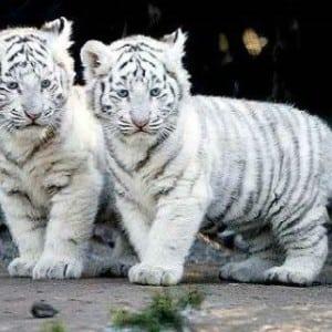 tiger- Kumpulan Nama Binatang Dalam Bahasa Inggris A-Z lengkap Dengan Gambar