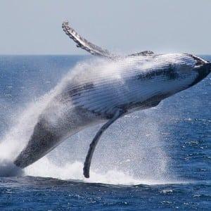 whale Kumpulan Nama Binatang Dalam Bahasa Inggris A-Z lengkap Dengan Gambar