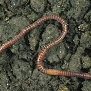 worm100 Nama Binatang Dalam Bahasa Inggris A-Z lengkap Dengan Gambar