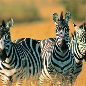 zebra Kumpulan Nama Binatang Dalam Bahasa Inggris A-Z lengkap Dengan Gambar