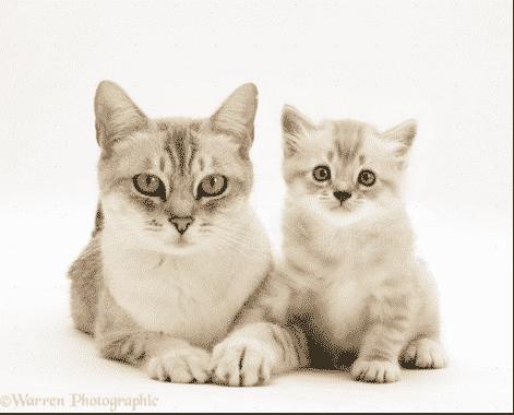 Perbedaan Kata Cat dan Kitten Penjelasan Lengkap Dan Contoh Kalimatnya